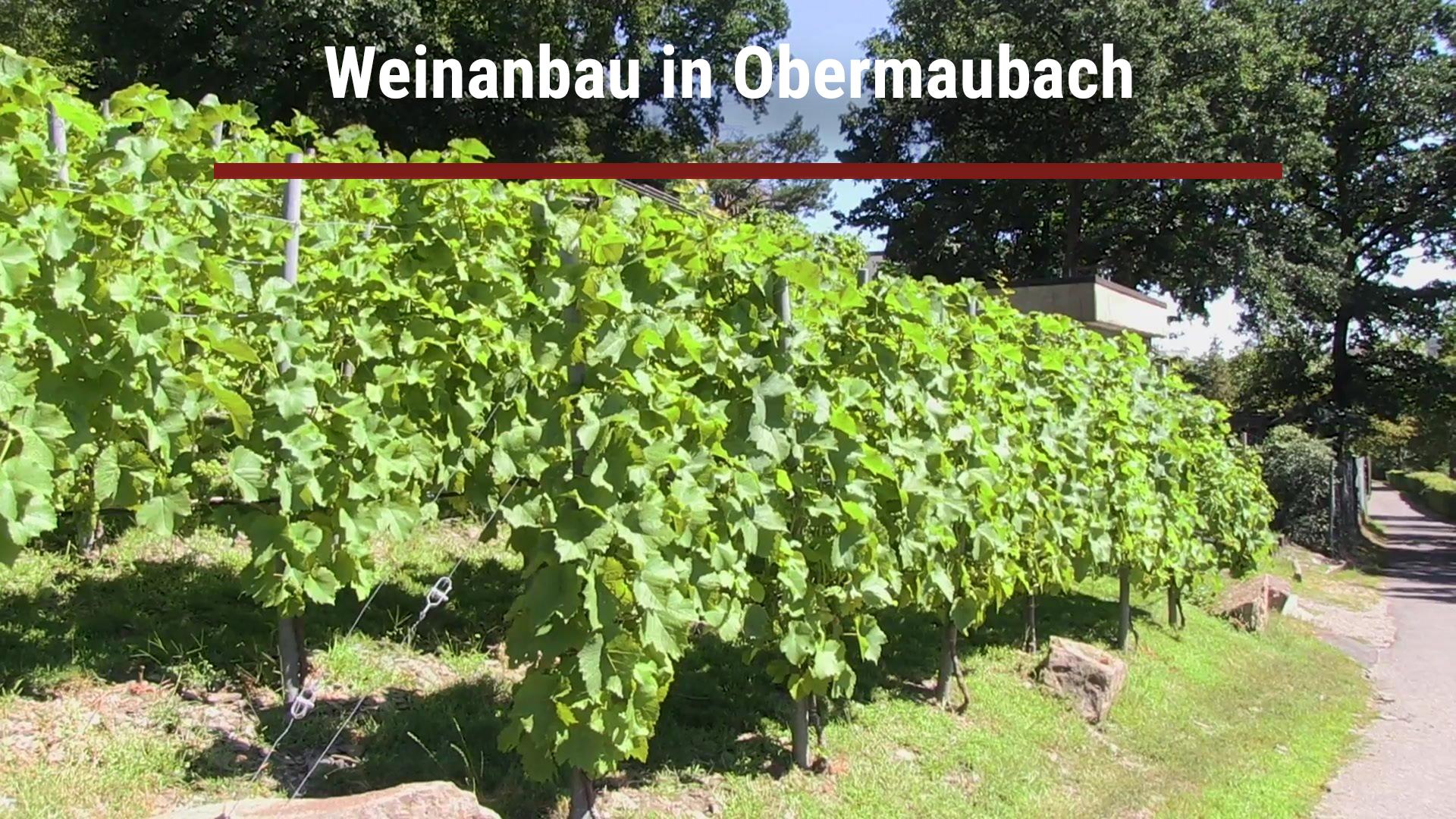 Weinanbau in Obermaubach
